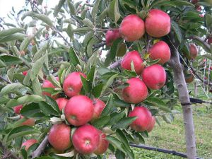 APPLE -  Braeburn Semi Dwarf) - Apple