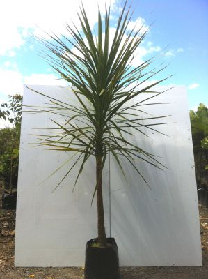 Cordyline Australis (Cabbage Tree) - Cordyline Australis