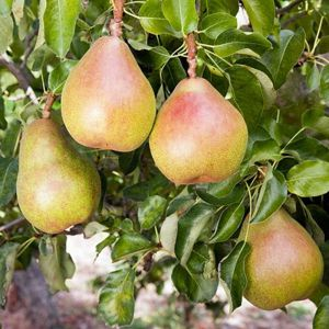 PEAR Dual Pear - Doyenne Du Comice/Conference - Pear