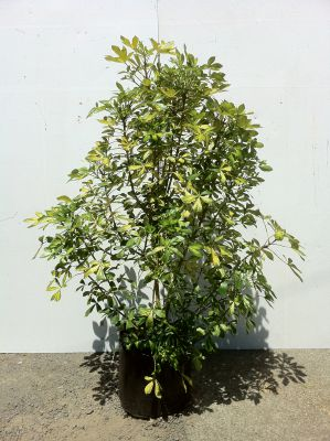 Pseudopanax Gold Splash - Variegated Five Finger (Pseudopanax Lessonii Gold Splash)